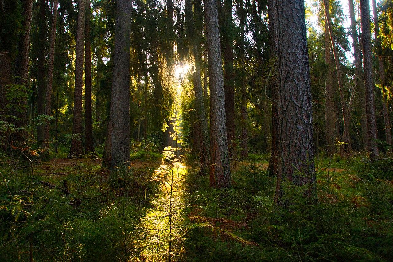 Заказник «Линдуловская лиственничная роща» (Зеленогорск)