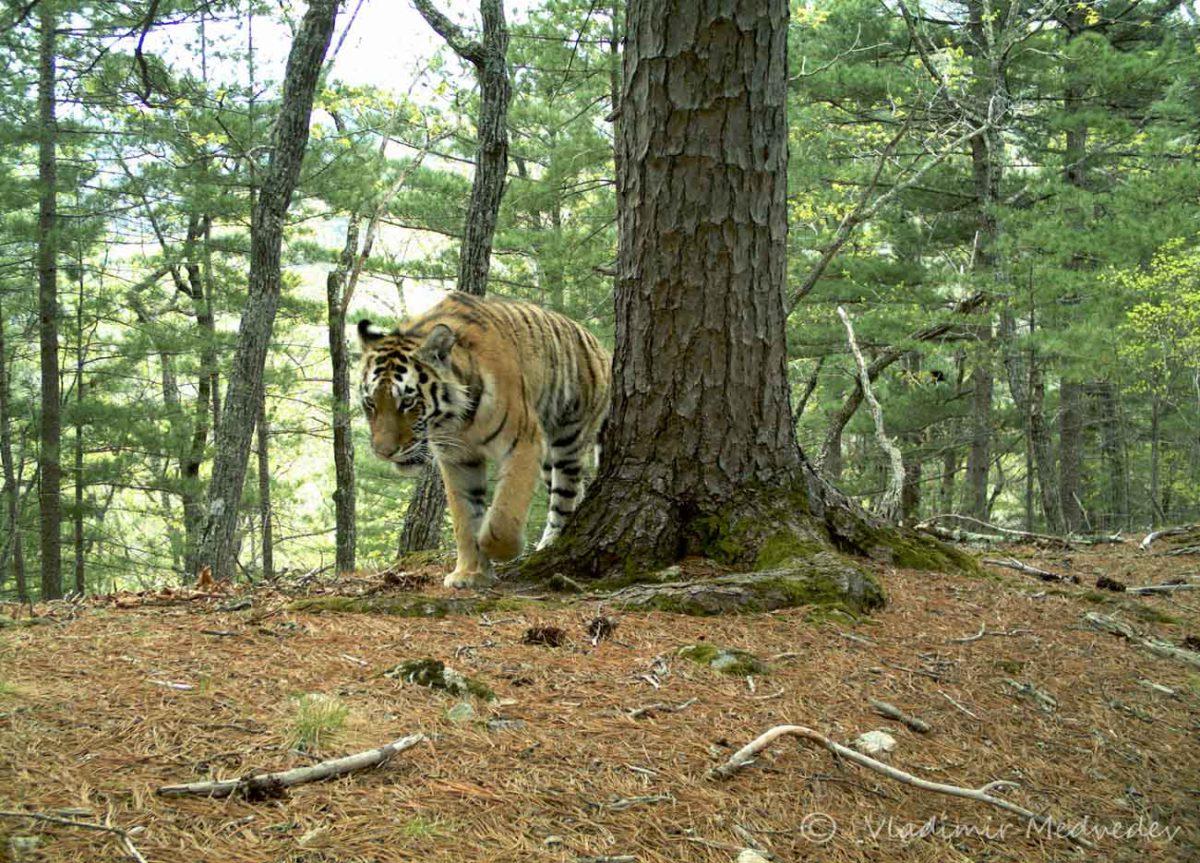 Национальный парк «Зов тигра» (Приморский край)