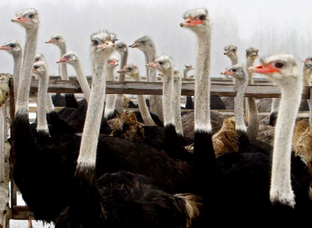 Страусиная ферма «Макарьевский страус» (Лысково)