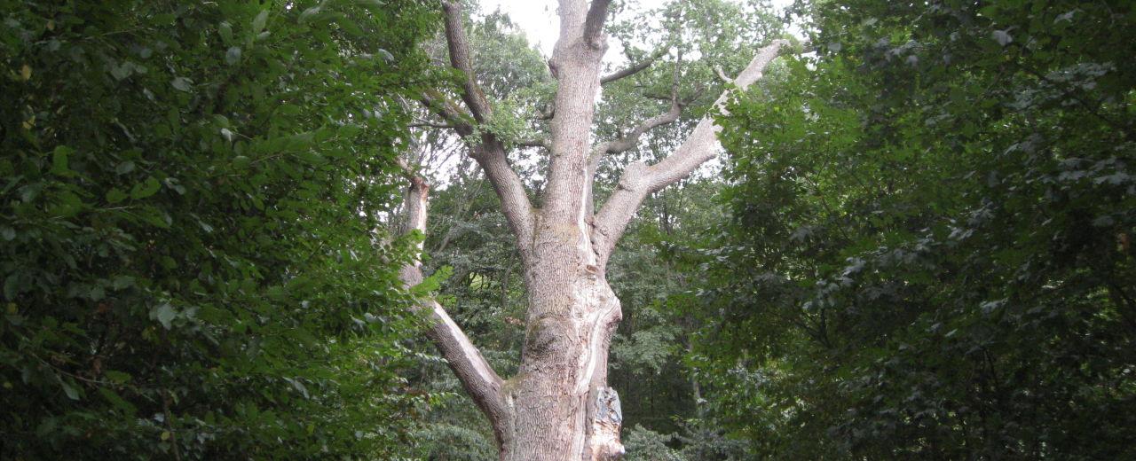Тысячелетний дуб (Черкасская область)