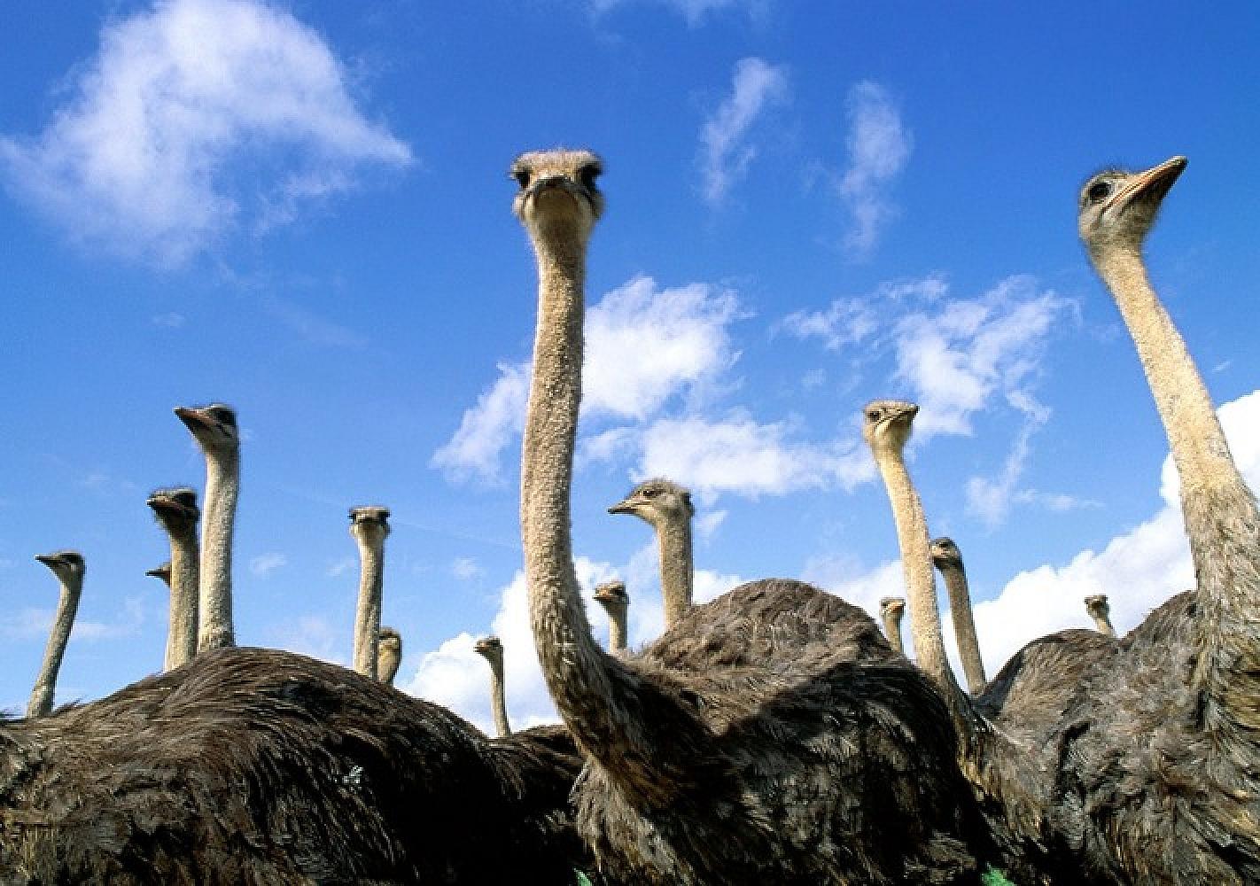 Ясногородская страусиная ферма (Киевская область)