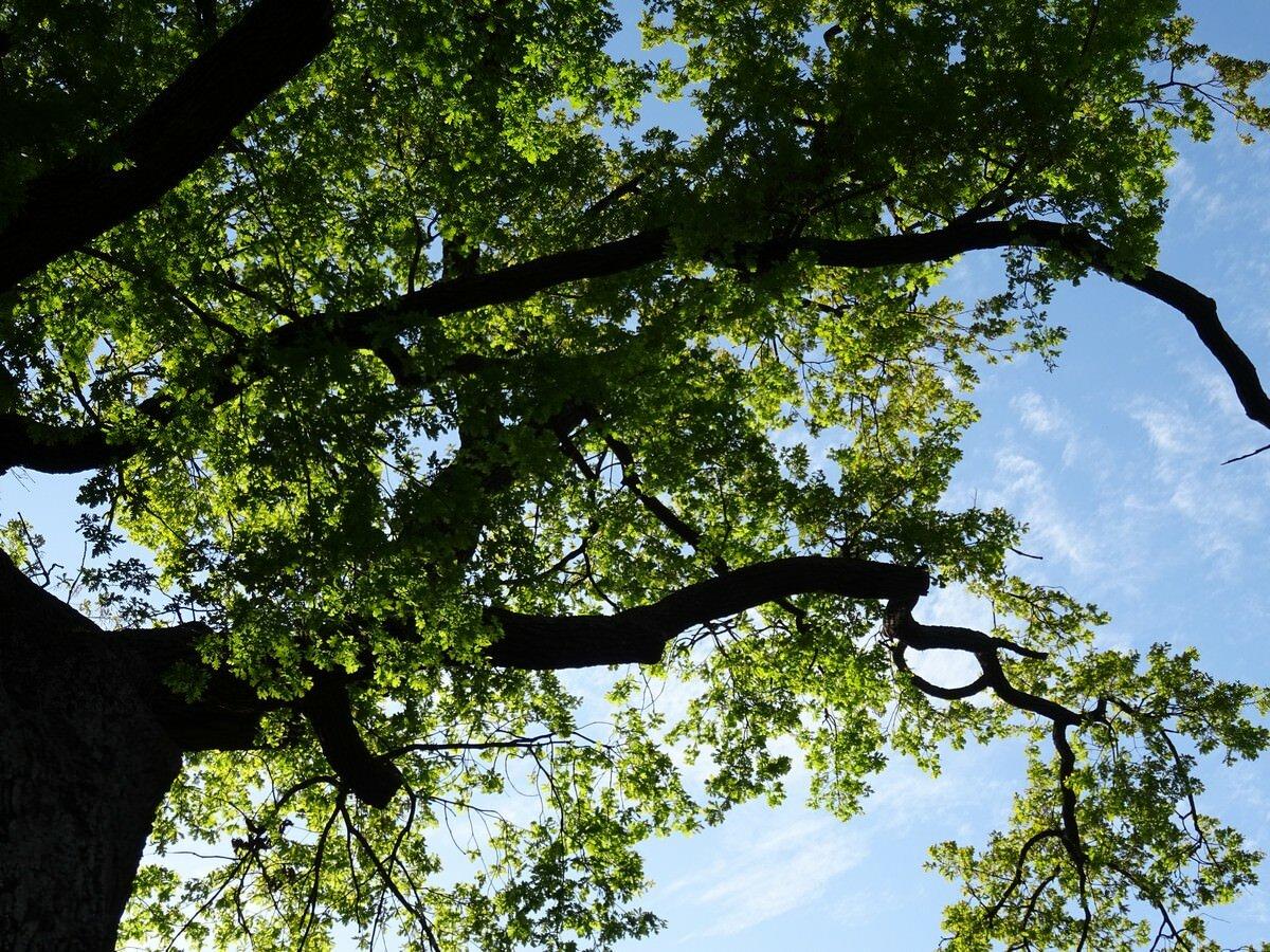 Многовековой дуб (Кукмор)