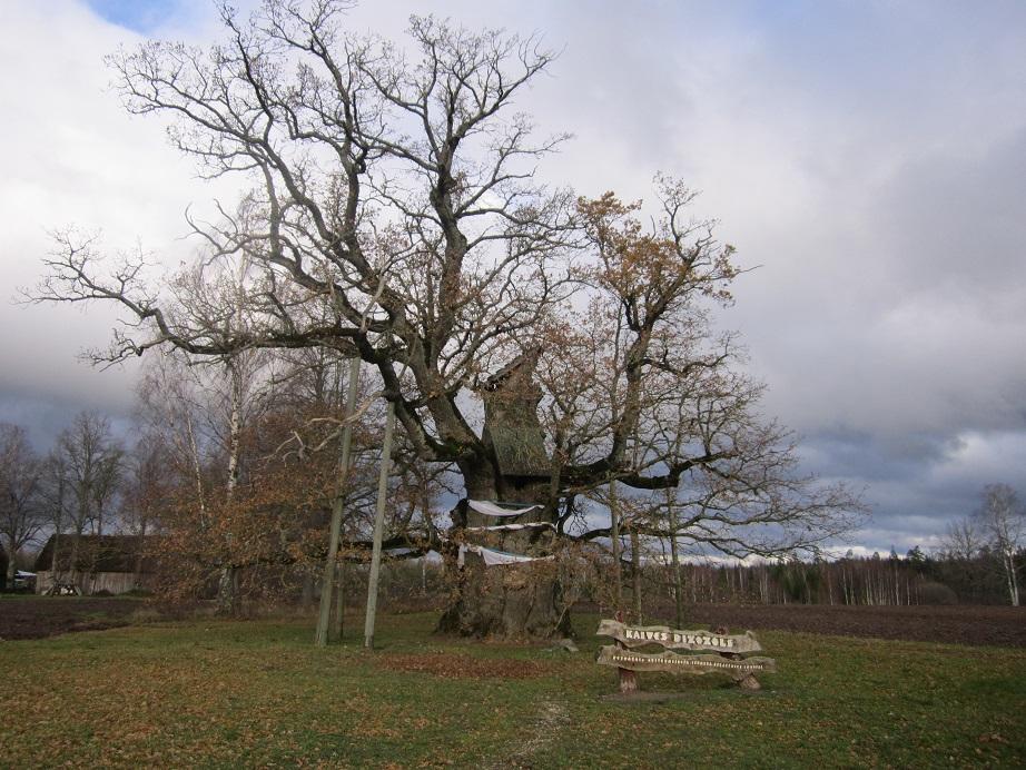 Кайвский дуб (Латвия)