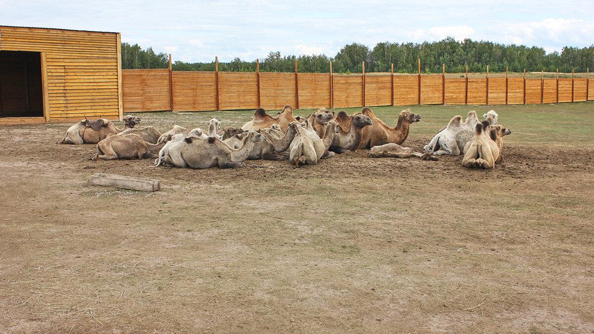 Ферма верблюдов (Болгар)