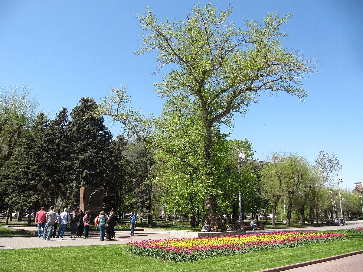 Тополь на площади Павших Борцов (Волгоград)